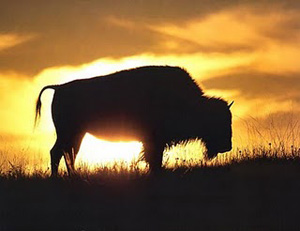 Bison_sunset
